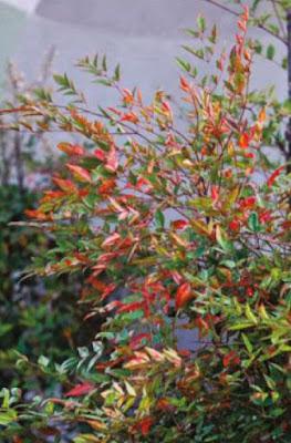 Nandina domestica 'Pygmaea'