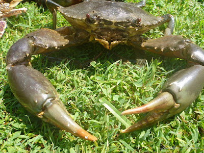 Mud Crab Farming in India has Become Popular Business