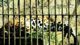 Onça no Parque Zoológico de Sapucaia
