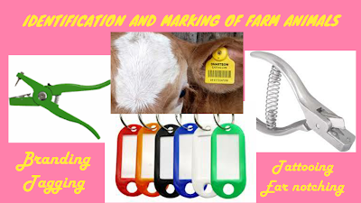 Scientific methods of identification and marking of farm animals