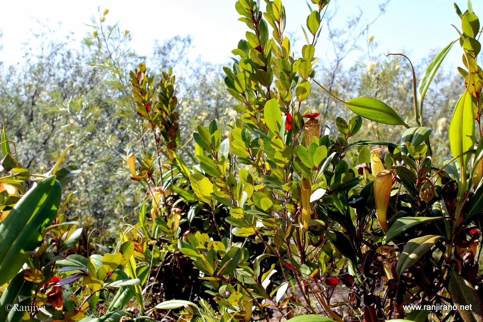 paysages et fleurs au fil de l u0026 39 eau  des nepenthes et des l u00e9muriens  madagascar