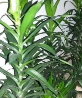 gambar Manfaat dan cara menanam tanaman daun suji