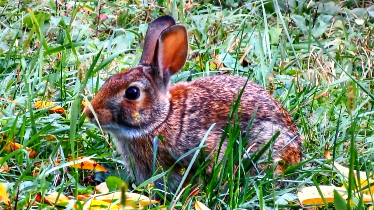 Cottontail rabbit habitat - photo#40