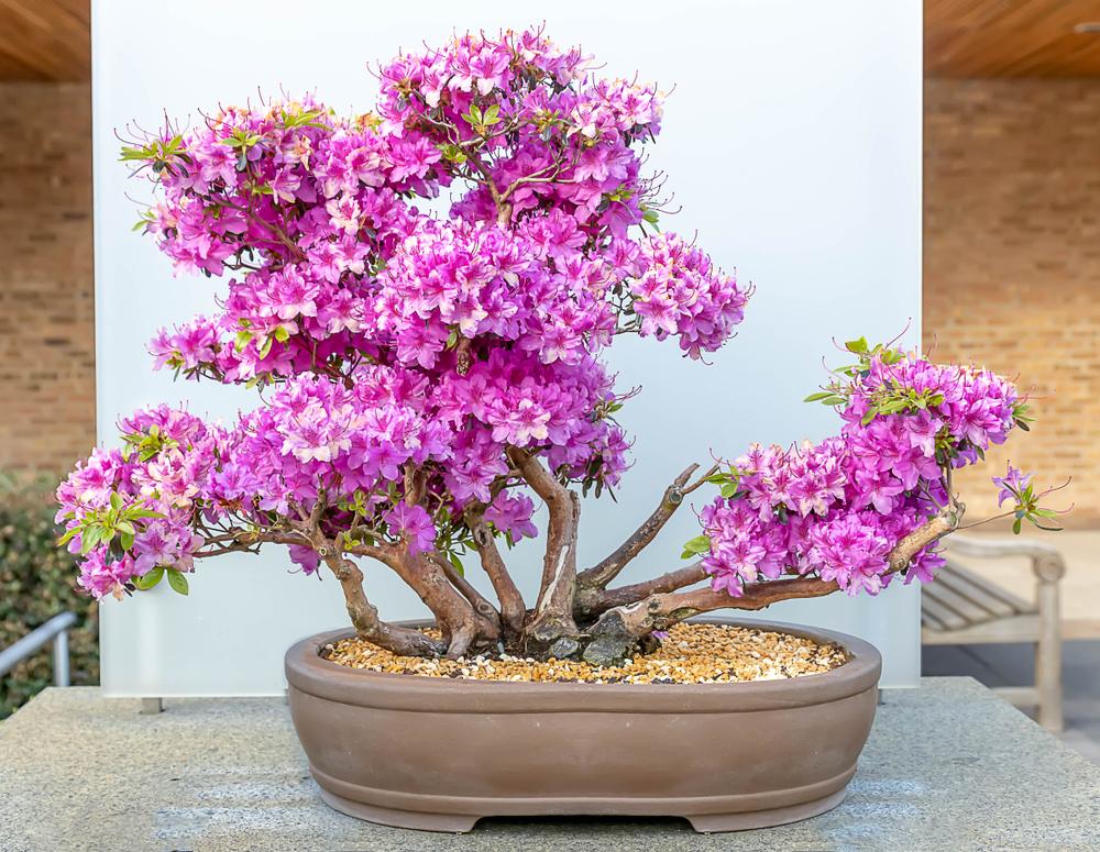 Panduan Perawatan Untuk Pohon Bonsai Azalea Bonsai Klasik