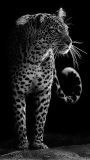 Leopard Mobile HD Wallpaper