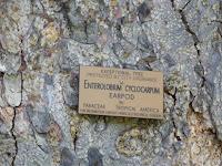 This Earpod is an exceptional tree - Foster Botanical Garden, Honolulu, HI