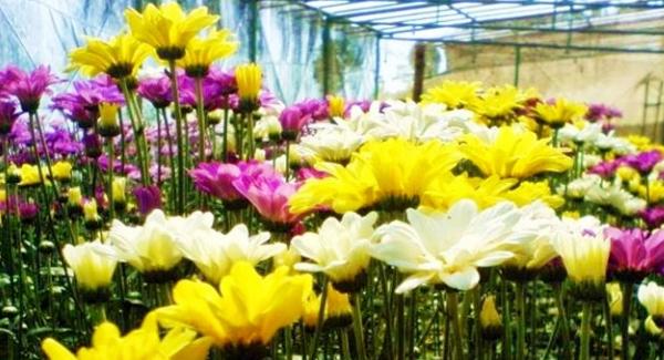 Bunga Krisan Bisa Di Makan Langsung