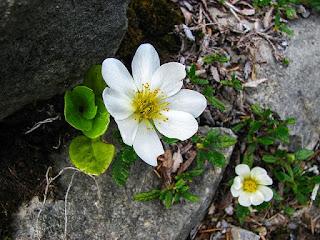 岩のすきまに咲く白い花