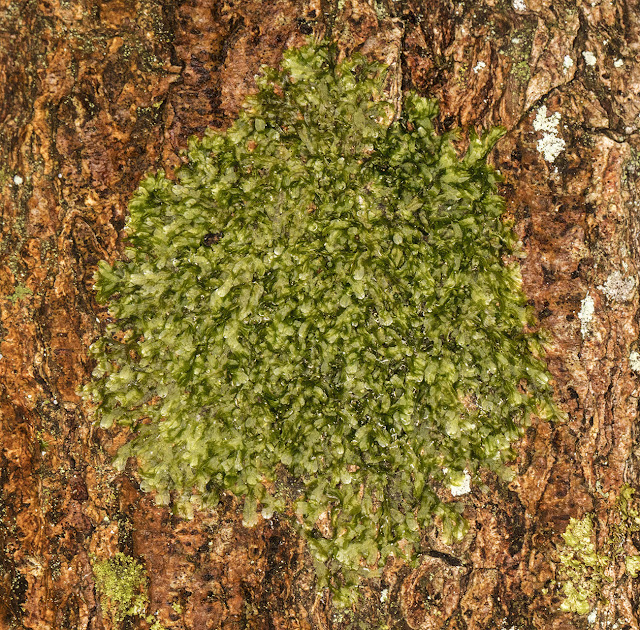 Metzgeria furcata, Forked Veilwort, on oak.  Hayes Common, 30 December 2016.