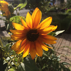 Sunflower Flower in Autumn