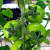 How to ripen green tomatoes #vegetable_gardening