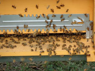 fabrizio mosca apicultore manerbio