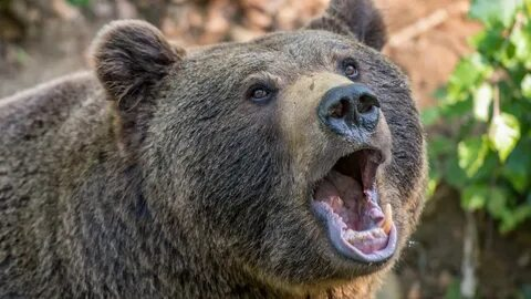 В Томской области медведь растерзал вырубавшего лес бизнесмена