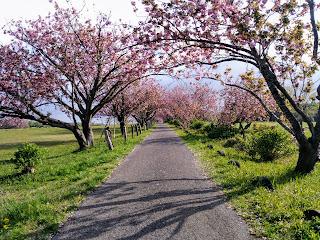 秋元牧場の八重桜並木 走路に沿って200mほど続いています。