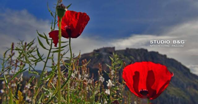 Παπαρούνα: Το σύμβολο της Ελληνικής ανοιξιάτικης υπαίθρου