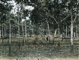 ladang pohon karet havea di batang toru