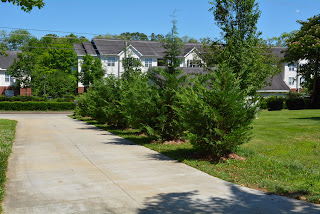 Leyland Cypress Front Drive St Francis Cottage 2020