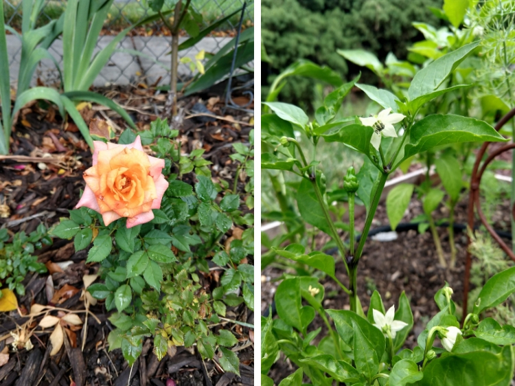Rose and Pepper Flowers // Garden Update July 2019 // www.thejoyblog.net