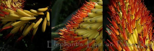 Aloe marlothii flowers