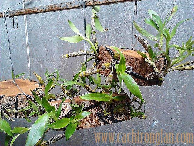 Lan Kim Điệp - Dendrobium Capillipes