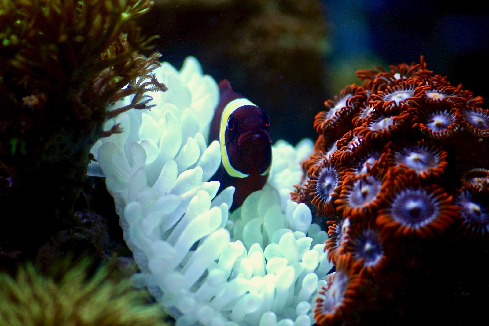 maroon-fish-on-corals-pictures