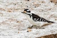 Hairy Woodpecker – Summerside, PEI – Feb. 28, 2018 – © Roberta Palmer