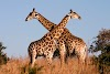 Giraffe Receives Protected Species for First Time in UN History
