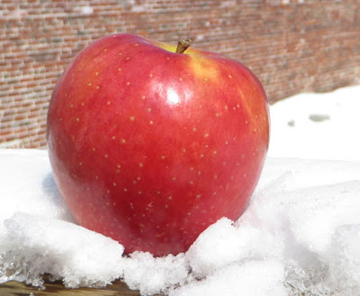Handsome red apple nestled in the snow