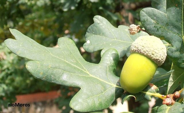 Tipos de Quercus, robles, encina, coscoja, alcornoque, quejigo