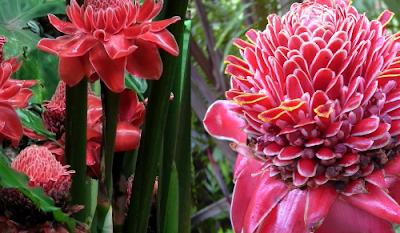 Metode Tanam Bibit Bunga Kecombrang, Gampang Serta Instan