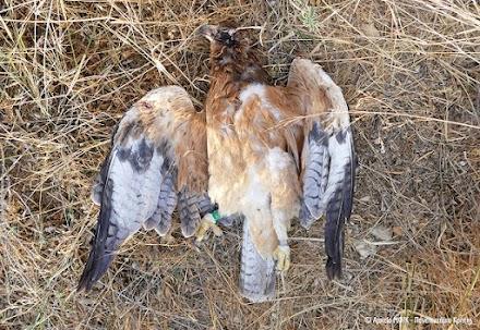 Νέο περιβαλλοντικό έγκλημα στην Κρήτη: Νεαρός Σπιζαετός νεκρός από πυροβολισμό