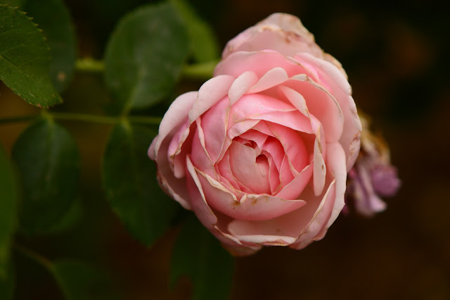 st swithun, rose, david austin, english rose, amy myers, small sunny garden, desert garden,