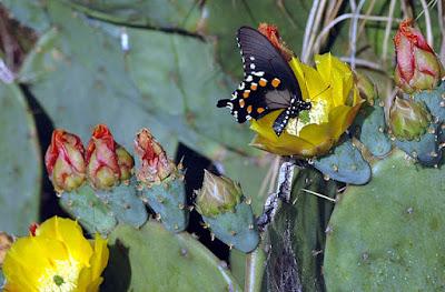 A borboleta e o cactus.