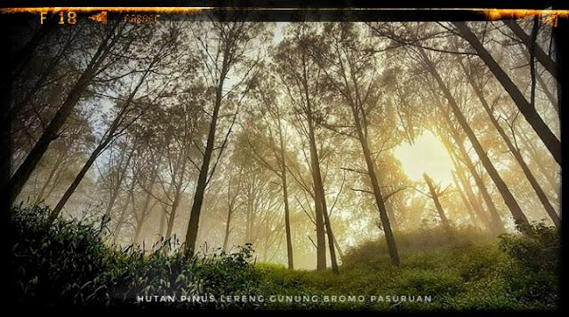 Hutan Pinus Gunung Bromo Pasuruan