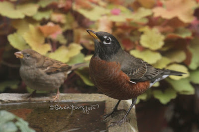 "This image features an adult male American robin and a young house sparrow, whose gender is probably female (too young to tell for sure as full features are not developed). They are perched on a concrete bird bath that is on the floor of my garden. Only the rim of the birdbath and water inside of it is visible in this image. Both birds are on the right side of the image. The robin is is the furthest of the two birds to the right and he is gazing up (intently) at something (but I have no idea what ha captured his attention). The sparrow is only a few inches away from him and this little creature also seems to be looking at the same thing that caught the robin's attention. Foliage (that is in yellowish and pale green tones ) from a Heuchera plant is behind the birds. Both these bird types are featured in my book series, ""Words In Our Beak."" Info re the book is on my blog @ https://www.thelastleafgardener.com/2018/10/one-sheet-book-series-info.html"