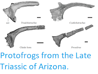 https://sciencythoughts.blogspot.com/2019/04/protofrogs-from-late-triassic-of-arizona.html