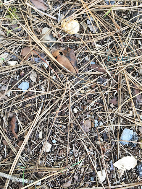 amas d'aiguilles de pins des landes au sol
