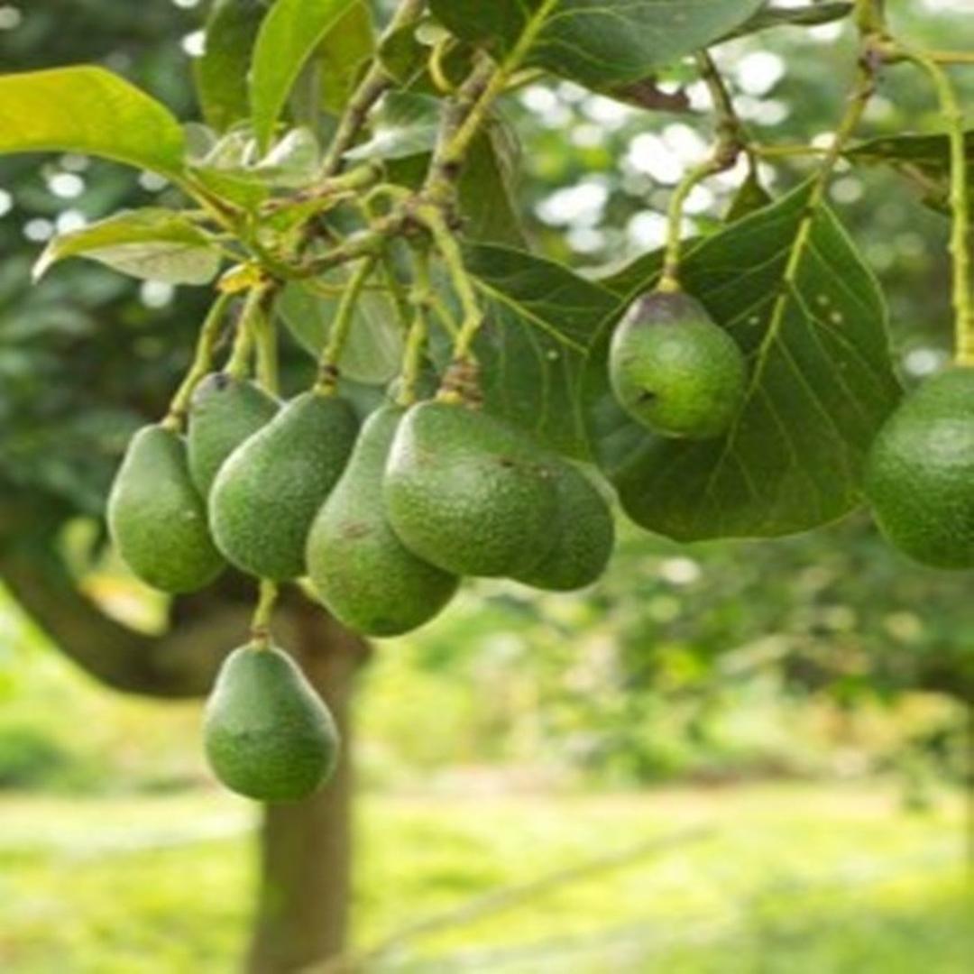 Obral! Bibit tanaman buah alpukat non biji unggul Kota Bekasi #bibit buah genjah murah