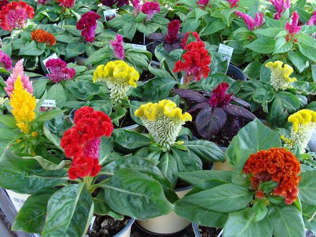 A planta multiplica-se facilmente por sementes produzidas em grande quantidade, que podem ser semeadas no decorrer do ano, principalmente no verão. Suporta bem os ventos, desenvolve-se a pleno sol e prefere o calor ao frio intenso. Mas, depois de enraizada, torna-se mais tolerante ao frio ameno.