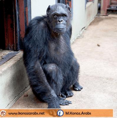 حقائق و معلومات حول أوليفر ... القرد الذي يشبه الإنسان !