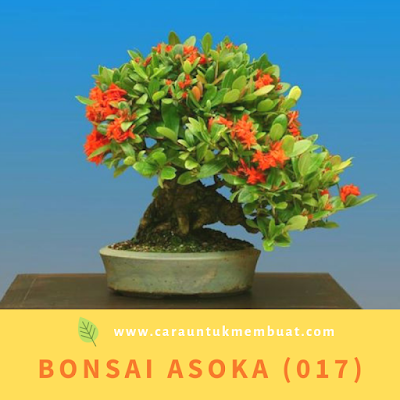 Bonsai Asoka (017)