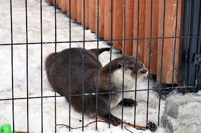 Выдра. Челябинский зоопарк. Февраль 2016