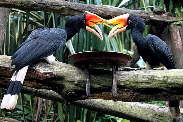 Sarawak Rhinoceros Hornbill conservation