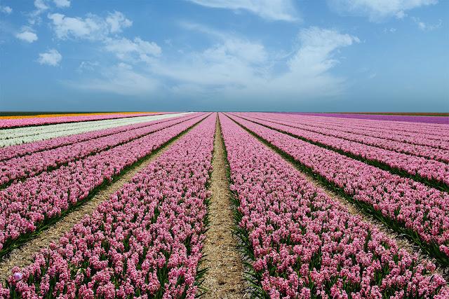 Vista Holanda época Tulipanes