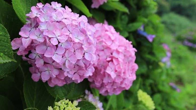 Misi Mencari Bunga Hydrangea atau Bunga Kembang 3 Bulan