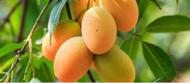 أشجار المانجو و الأسباب التي جعلتها من أهم أشجار الفواكه