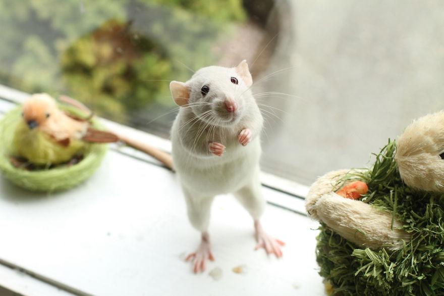 cute-pet-rats-7