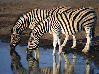 Image result for zebra