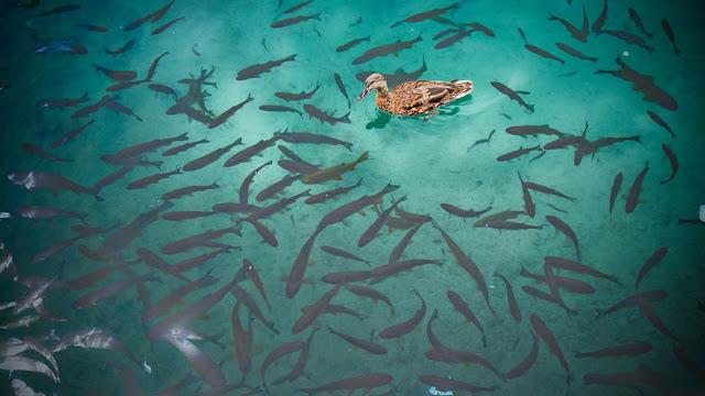 جولة سياحية أجمل البلاد مستوى العالم كرواتيا بليتفيتش Duck-and-fishes-of-Plitvice-Lakes.jpg