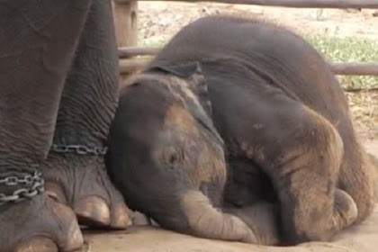Elephants React Emotionally When Freed From Chains